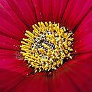 Pollen On Red Velvet by TomRaven