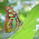 Malachite Butterfly by Dawne Dunton