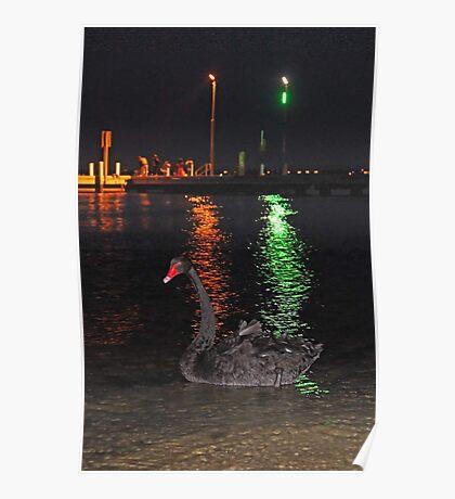 Black Swan At Night  Poster