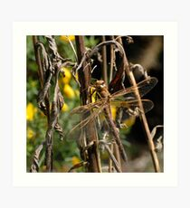 Brown Hawker dragonfly Art Print