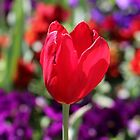 Colour explosion - Spring time  by Ainslie1