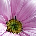 Gorgeous Pink Daisy by hurmerinta