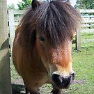 Shetland Pony by susanmcm