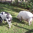 Two pigs grazing by susanmcm