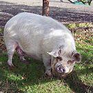Lone pig by susanmcm
