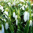 Snowdrops In Early Springtime by mcworldent