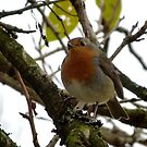 European Robin At Autumn-time  by mcworldent