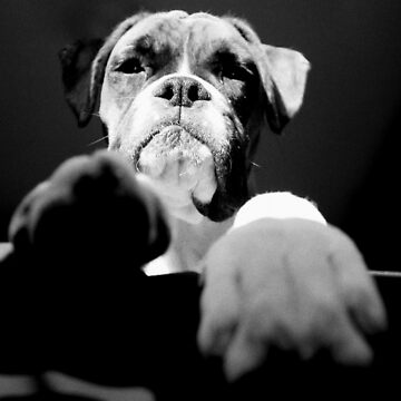 Don't mess with the boxer! by boxerportraits