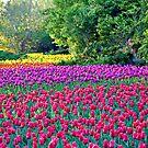 A Rainbow of Tulips by PhotosByHealy