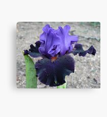 "Bearded Iris - ""Wild Wings"" Canvas Print"