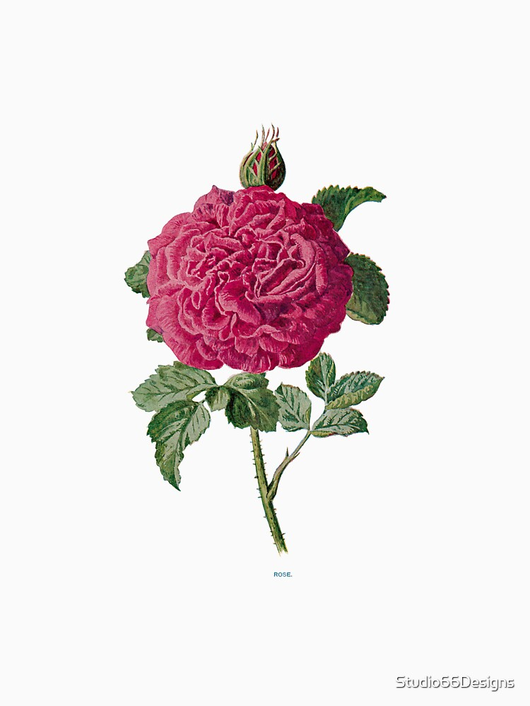 Rose Print, Original Flower Print, Botanical Antique, Antique prints, Old print, Rose Wall art by Studio66Designs