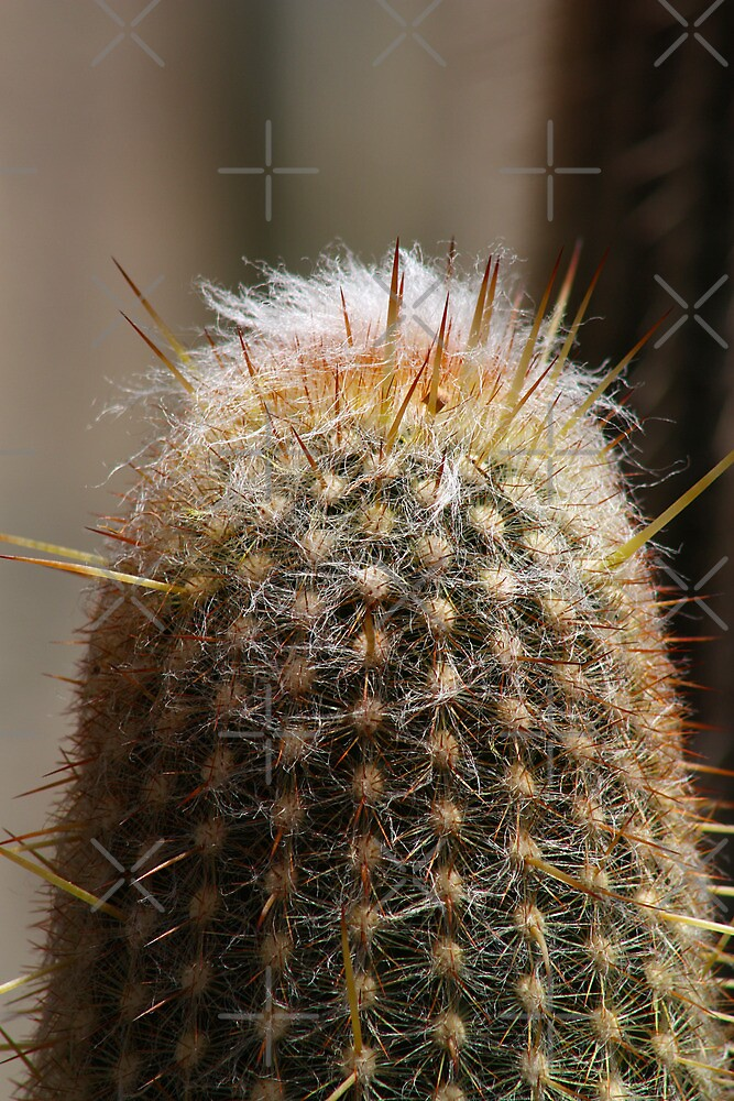 Cactus Closeup, from Mt Coottha by Lawrie McConnell