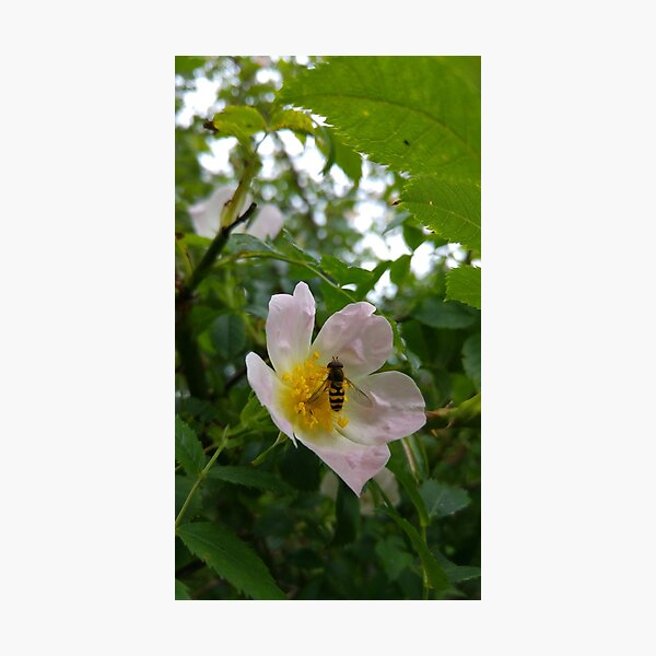 Hoverfly on a Dog Rose Flower  Photographic Print