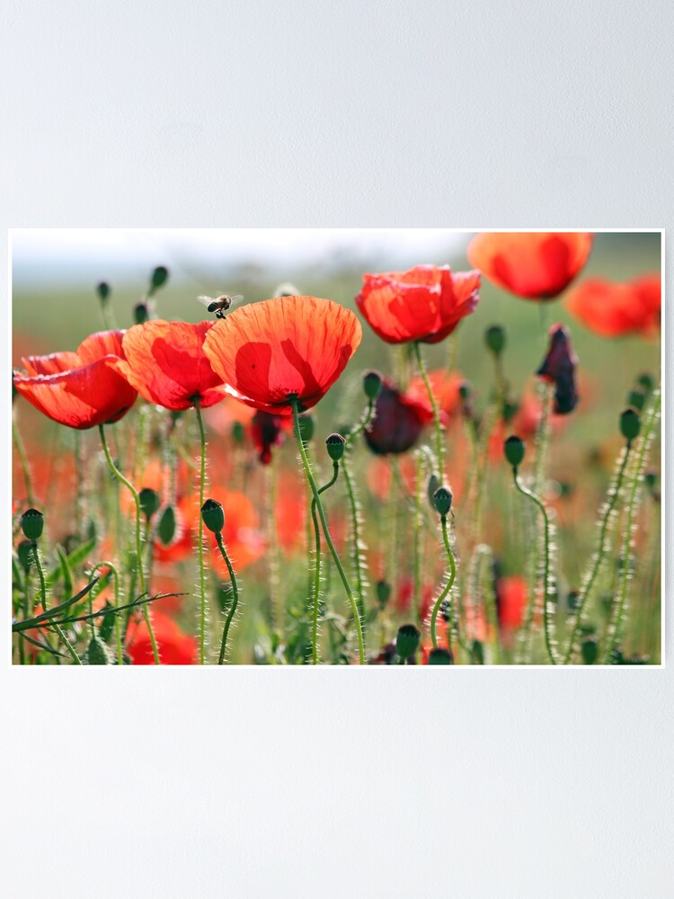 Alternate view of bee and poppies flower spring season Poster