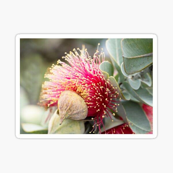 Western Australian wildflower - Mottlecah Sticker