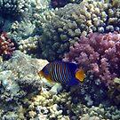 Royal Angelfish In The Red Sea by hurmerinta