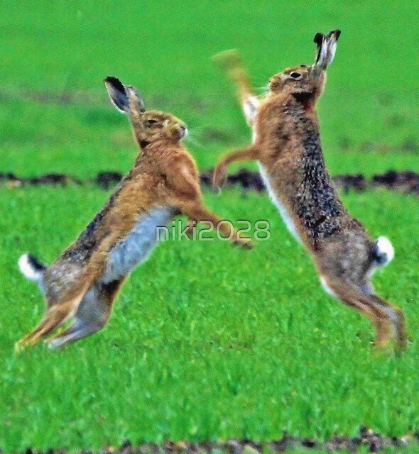 Boxing Hares by niki2028