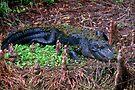Alligator resting by Larry  Grayam