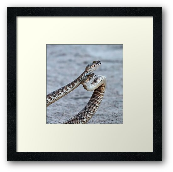 Dancing Rattlesnakes. by Alex Preiss