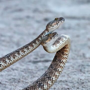 Dancing Rattlesnakes. by alex4444