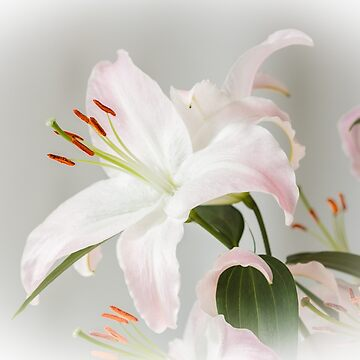 Lily Surprise by heidipics