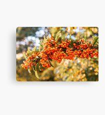 Bright Orange Firethorn or Pyracantha berries Canvas Print