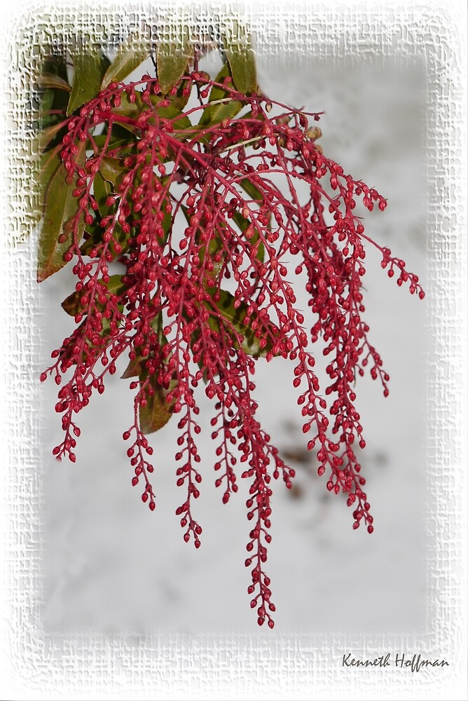Winter Berries by Kenneth Hoffman