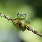 Ghost Glass Frog by mlorenz