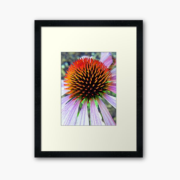 Echinacea Framed Art Print
