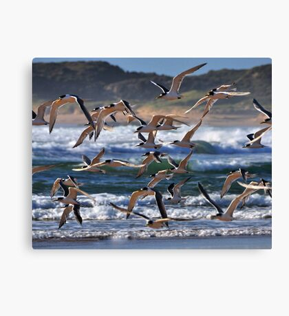Crested Terns in flight Canvas Print