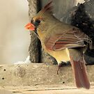 Female Cardinal by Megan Noble