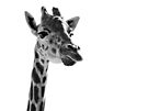 Giraffe Expressionism by SD Smart