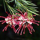 Grevilleas Of Australia by Joy Watson