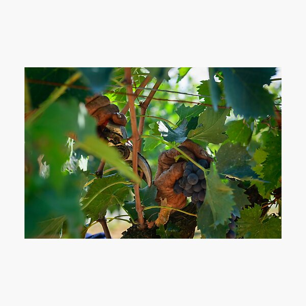 Old hands picking grapes, Castiglione d'Orcia, Tuscany, Italy Photographic Print