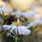 Western Australian daisy wildflower by LifeImages