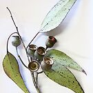 Australian eucalypt leaves and nuts by LifeImages
