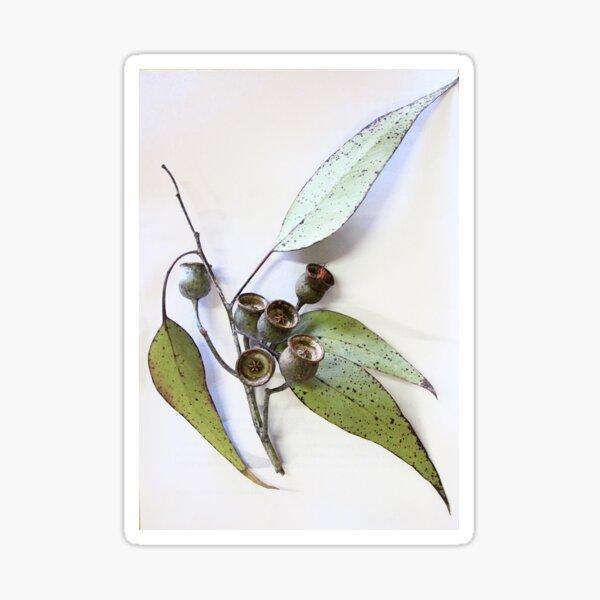 Marri eucalypt leaves and nuts, Western Australia  Sticker