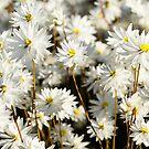 Western Australian wildflower - everlasting daisies by LifeImages