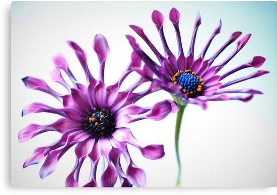 Whirligig daisies by George Kypreos