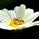 Mythicomyiidae flies by Rina Greeff