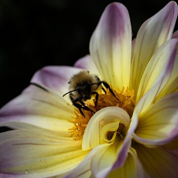 Honey Bee And Beautiful Dahlia  by widdy170