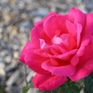 Pink Rose by STHogan