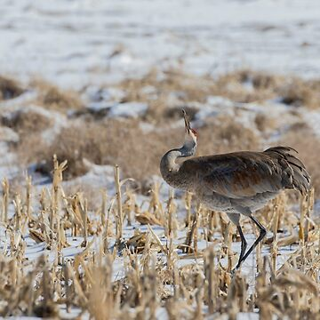 Sandhill Crane 2018-5 by Thomasyoung