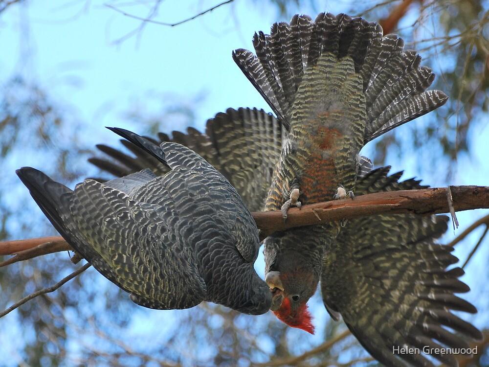 Gang Gang Cockatoos by Helen Greenwood