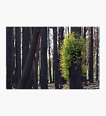 After the bushfires Photographic Print