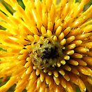 Yellow bush bloom - Pierces Pass by Bindi Hatcher