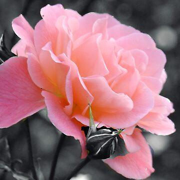 Pink Rose............. by lynn45