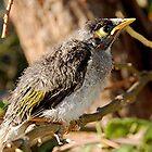 Baby Noisy Miner Bird by patapping