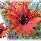 African daisy by indiafrank