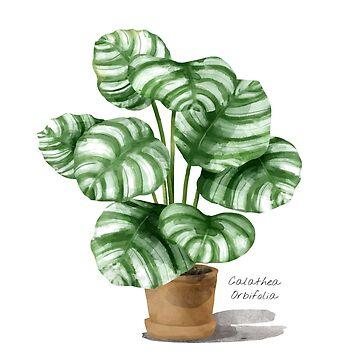Calathea Orbifolia - [Indoor Plant Love] by xJLe
